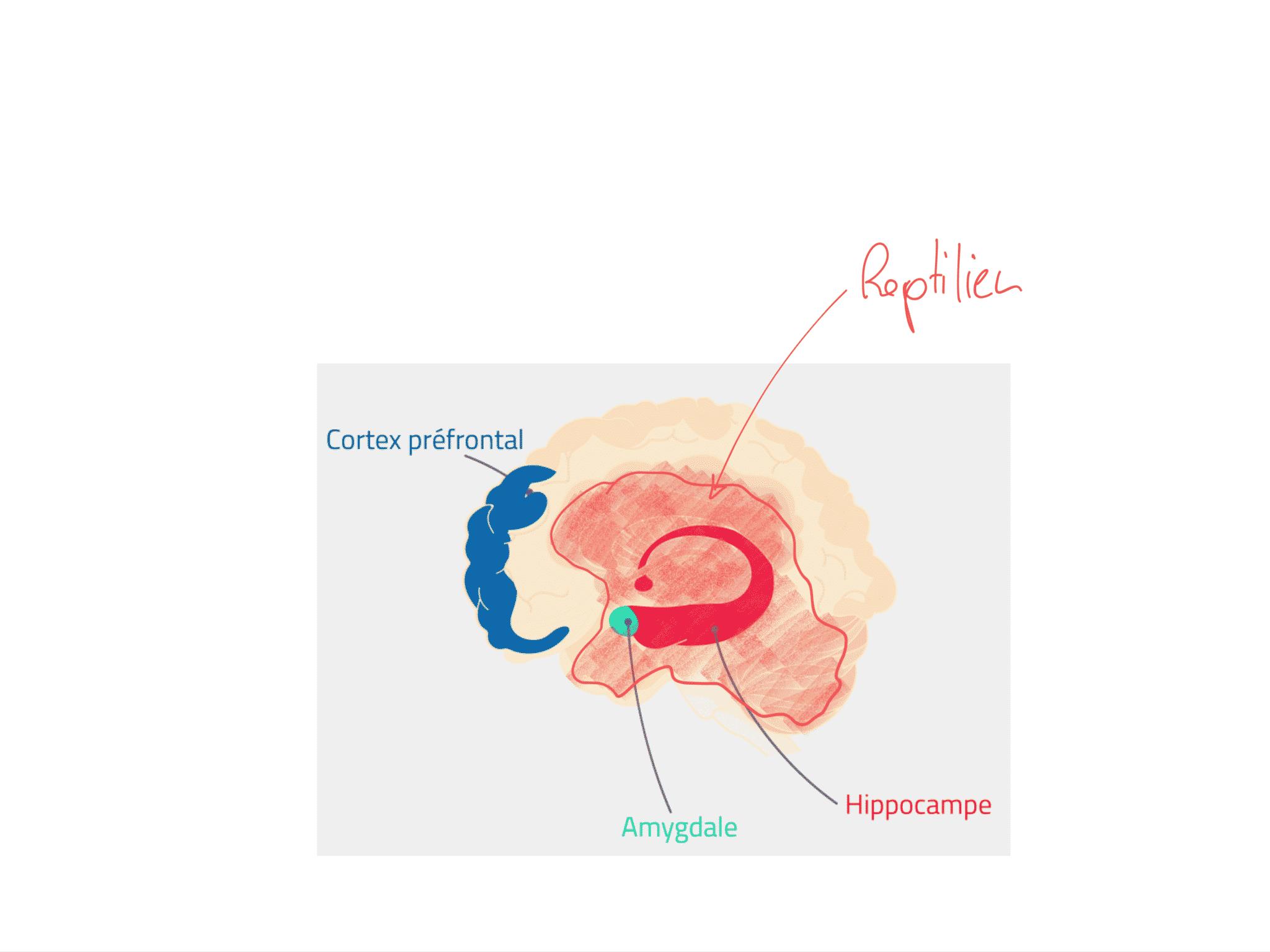 Le cerveau et le stress